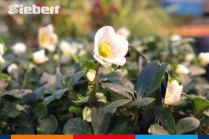 Christrosen in der Gartenabteilung von Siebert Baumarkt
